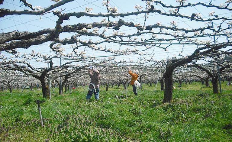 二十世紀梨を栽培